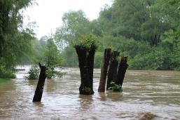 Die immer wieder kronengekappten Hochwasserschutzbäume an der Leutra-Mündung