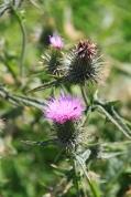 Die schottischste aller schottischen Blumen
