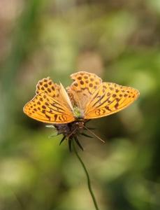 In den Kaisermantel sind offenbar die Motten gekommen, obwohl er selbst keine Motte, sondern ein Augenfalter ist.