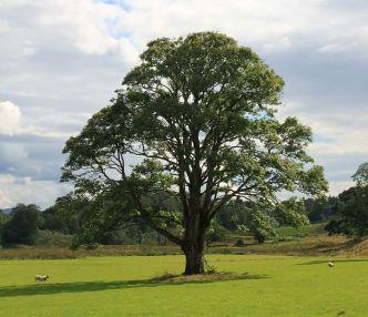 Natürlicher Baum: schlecht stapelbar, nimmt viel Platz weg, verunreinigt Straßen durch Laubabwurf und Sämlinge