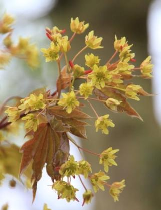 Spitzahorn, auch beim Blühen