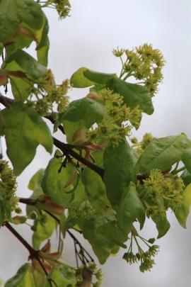 Feldahorn-Blüten