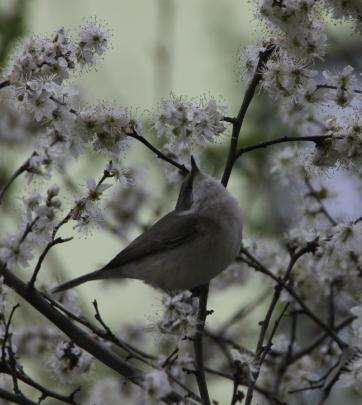 Die Klappergrasmücke findet Schlehenblüten lecker.