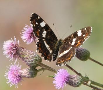 Aus dem Atlas entkommen: Sommergeneration des Landkärtchens