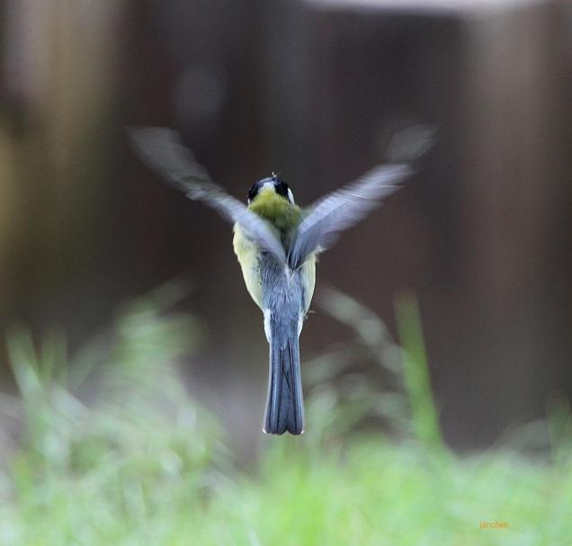 Die Kohlmeise versucht, sich als Kolibri auszugeben, und steht in der Luft.
