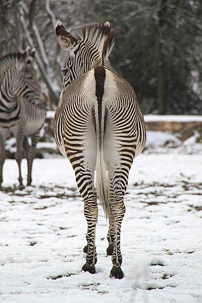 Zebraarsch