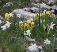 An einem Hang in der Nähe blühen wilde Narzissen, Orchideen und Irisen.