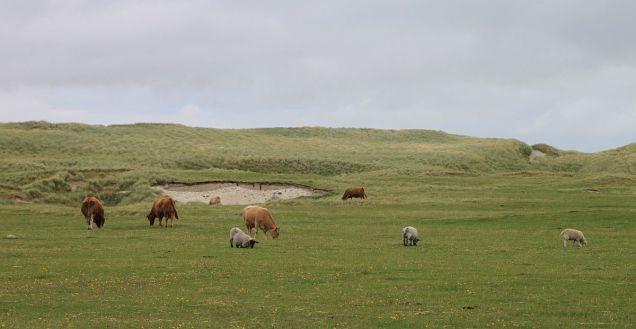 ... und ein Stück weiter voller Schafe und glücklicher Kühe.