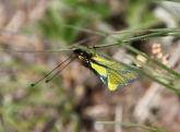 Das ist weder ein Schmetterling noch eine Libelle, sondern ein Libellen-Schmetterlingshaft.