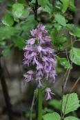 Das Helm-Knabenkraut, eine der Vorzeige-Orchideen um Jena