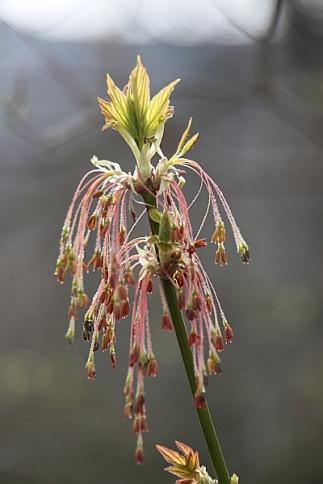 Blüte des Eschenahorns