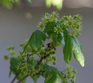 Grasgrün - Feldahornblüte